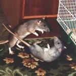 «Мышь» я дрожащая или право имею?»
